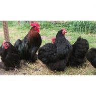 BLACK PEKIN BANTAMS Black Cockerel Not Birchen
